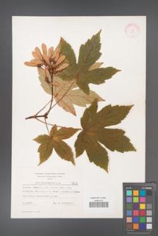 Acer pseudoplatanus [KOR 5501]