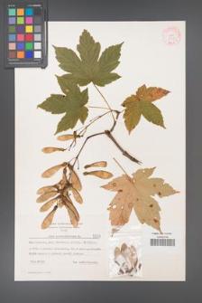 Acer pseudoplatanus [KOR 5517]