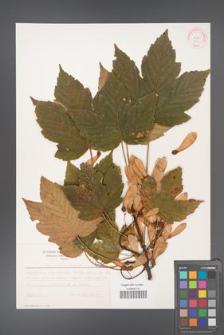 Acer pseudoplatanus [KOR 5511]