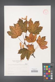 Acer pseudoplatanus [KOR 5512]