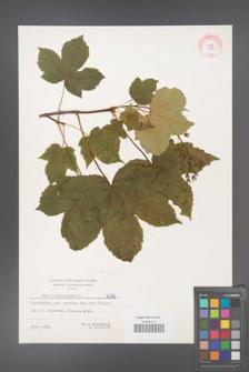 Acer pseudoplatanus [KOR 6096]