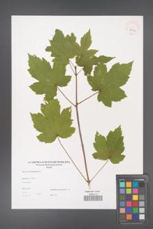 Acer pseudoplatanus [KOR 38999]