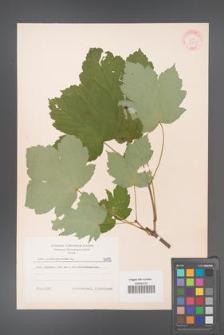 Acer pseudoplatanus [KOR 6015]