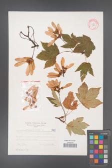 Acer pseudoplatanus [KOR 5497]