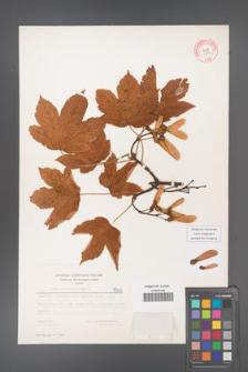 Acer pseudoplatanus [KOR 5503]