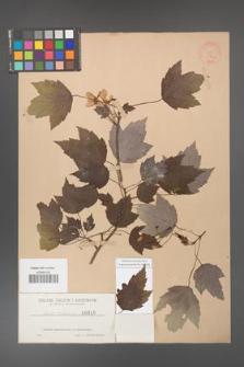 Acer rubrum [KOR 18a]