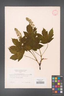 Acer pseudoplatanus [KOR 7419]