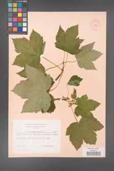 Acer pseudoplatanus [KOR 7412]