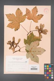Acer pseudoplatanus [KOR 6497]