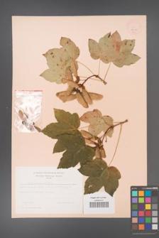 Acer pseudoplatanus [KOR 9040]