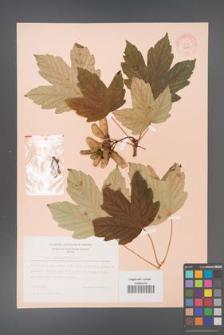 Acer pseudoplatanus [KOR 9045]