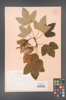 Acer pseudoplatanus [KOR 9060]