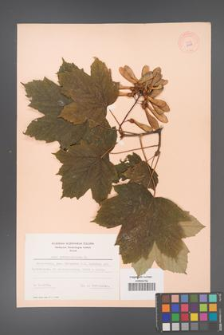 Acer pseudoplatanus [KOR 6499]