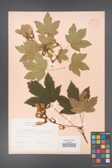 Acer pseudoplatanus [KOR 9059]