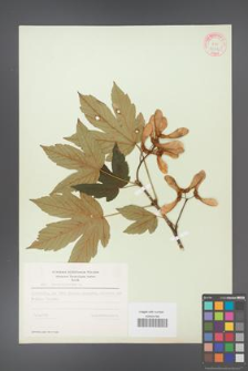 Acer pseudoplatanus [KOR 9032]