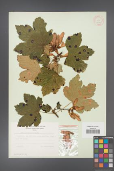 Acer pseudoplatanus [KOR 9044]