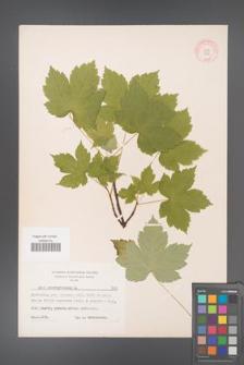 Acer pseudoplatanus [KOR 7415]