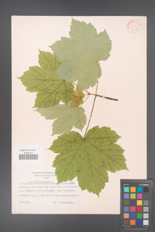 Acer pseudoplatanus [KOR 7420]