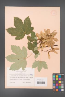 Acer pseudoplatanus [KOR 6325]