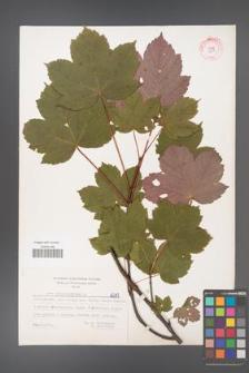 Acer pseudoplatanus [KOR 6217]