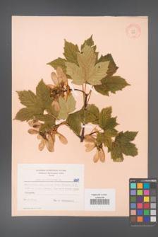Acer pseudoplatanus [KOR 6387]