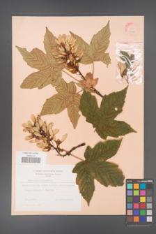 Acer pseudoplatanus [KOR 9058]