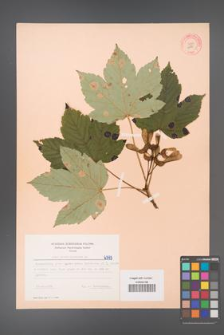 Acer pseudoplatanus [KOR 6393]