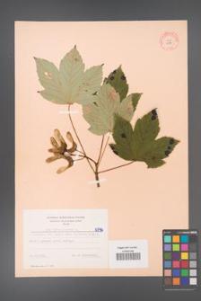 Acer pseudoplatanus [KOR 6396]