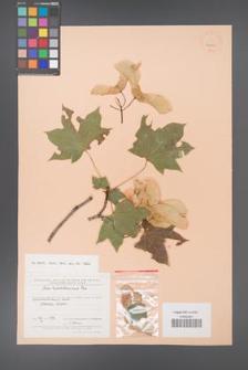 Acer platanoides [KOR 24683]