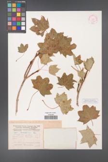 Acer platanoides [KOR 11522]