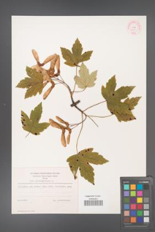 Acer pseudoplatanus [KOR 9001]