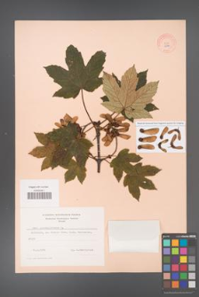 Acer pseudoplatanus [KOR 9036]