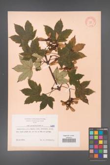 Acer pseudoplatanus [KOR 6389]