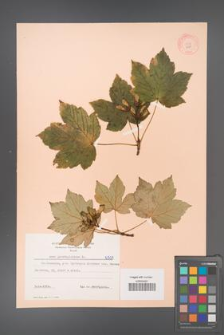 Acer pseudoplatanus [KOR 6501]