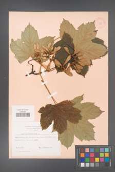 Acer pseudoplatanus [KOR 9007]