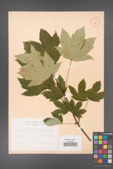 Acer pseudoplatanus [KOR 9047]