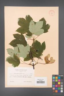 Acer pseudoplatanus [KOR 8530]