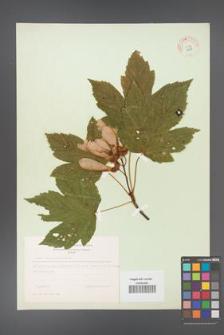 Acer pseudoplatanus [KOR 8998]
