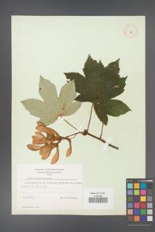 Acer pseudoplatanus [KOR 8994]