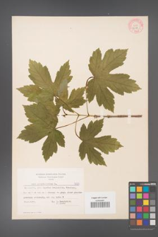 Acer pseudoplatanus [KOR 7587]