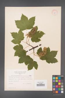 Acer pseudoplatanus [KOR 7679]