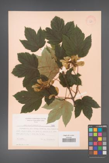 Acer pseudoplatanus [KOR 7678]