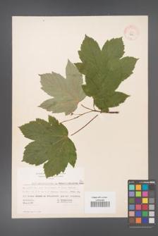 Acer pseudoplatanus [KOR 7766]