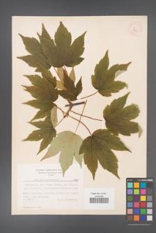 Acer pseudoplatanus [KOR 7681]