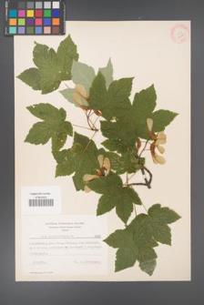 Acer pseudoplatanus [KOR 7695]