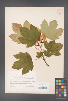 Acer pseudoplatanus [KOR 7781]