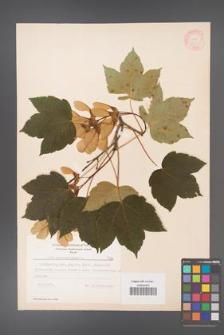 Acer pseudoplatanus [KOR 7780]