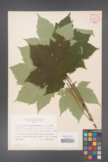 Acer pseudoplatanus [KOR 7776]
