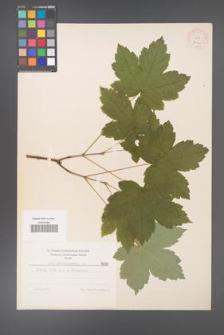 Acer pseudoplatanus [KOR 8029]