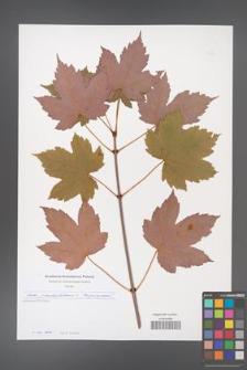 Acer pseudoplatanus [KOR 49736]